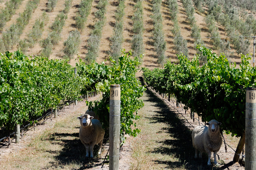 Lawn mower hire - Sheep keeping the grass trimmed in a Hawkes Bay vineyard, New Zealand