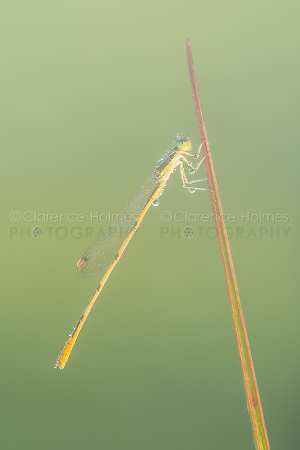 A male Citrine Forktail (Ischnura hastata) perches on a blade of grass in the early morning.