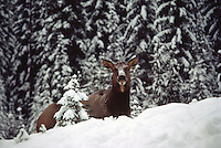 Canadian Rockies, Canada - Elk Cow, Wapiti (Cervus canadensis) resting in Forest Meadow, Winter