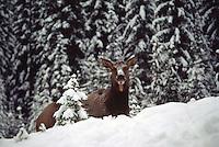 Canadian Rockies, Canada - Elk Cow, Wapiti (Cervus canadensis) resting in Forest Meadow, Winter
