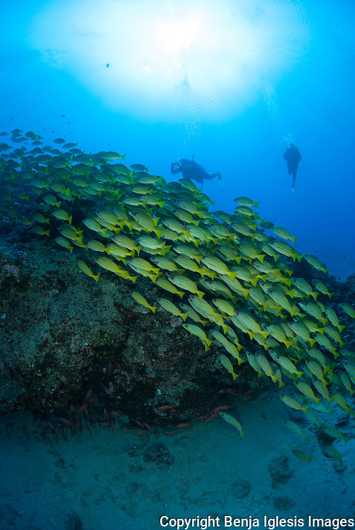 Divers over a school of blue stripe snapper at the 85 foot pinnacle Maui Hawaii.
