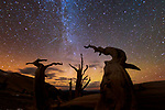Great Basin bristlecone pines (Pinus longaeva) and Milky Way, Ancient Bristlecone Pine Forest, White Mountains, California, USA<br /> <br /> Canon EOS-1D X, EF15mm f/2.8 Fisheye lens, f/2.8 for 30 seconds, ISO 3200