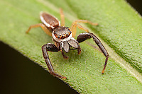 Jumping Spider (Hentzia palmarum) - Male, Bald Eagle State Park, Howard, Centre County, Pennsylvania
