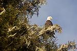 Alaska, Bald eagle, Haliaeetus leucocephalus, Prince William Sound,