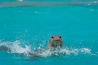 male Hawaiian monk seal, Neomonachus schauinslandi ( Critically Endangered Species ), spyhopping off beach on East Island, looking for females, French Frigate Shoals, Papahanaumokuakea Marine National Monument, Northwest Hawaiian Islands, USA ( Central Pacific Ocean )