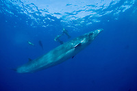 Bryde's whale, Balaenoptera brydei or Balaenoptera edeni, with California sea lions and striped marlin (in background), off Baja California, Mexico ( Eastern Pacific Ocean )