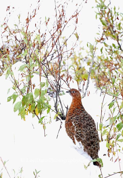 Ptarmigan in snow, summer plumage