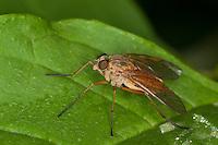 Goldgelbe Schnepfenfliege, Weibchen, Rhagio tringarius, Snipe Fly, Schnepfenfliegen, Rhagionidae, Snipe Flies, downlooker, down-looker flies