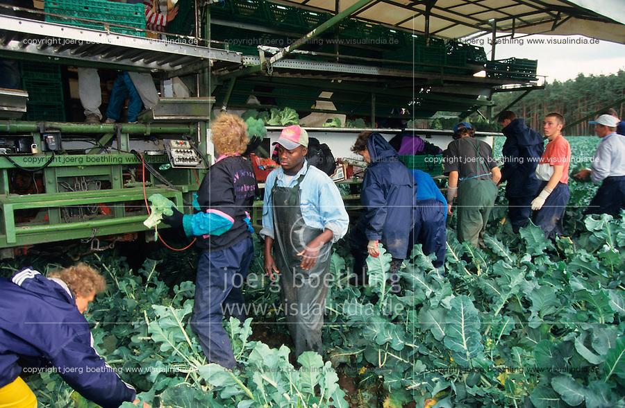 GERMANY, seasonal farm worker harvest brocoli at farm / DEUTSCHLAND Mecklenburg-Vorpommern, Saisonarbeiter, Erntehelfer ernten Brocoli Gemuese