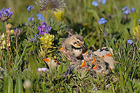 Female Horned Lark or Shore Lark (Eremophila alpestris) feeding young at nest among alpine wildflowers.  Western U.S., Summer.