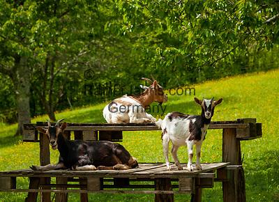 Frankreich, Bourgogne-Franche-Comté, Département Jura, bei Baume-les-Messieurs: Ziegen | France, Bourgogne-Franche-Comté, Département Jura, near Baume-les-Messieurs: goats