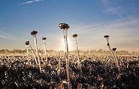 Frozen vegetation, Cranberry Bog, Pinebarrens, New Jersey