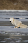 Arctic fox (Alopex lagopus) walking on the snow-covered ice