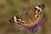The Buckeye Butterfly is chestnut brown with 6 bright colorful eye spots. These smaller butterflies are energetic fliers that are usually seen close to the ground. They are very well camouflaged when they have their wings folded up, appearing as a dull brown leaf.