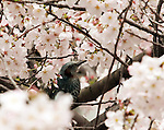April 4, 2016, Tokyo, Japan - A bird sits on a branch of fully bloomed cherry blossoms in Tokyo on Monday, April 4, 2016. People enjoyed cherry blossoms on a promenade along side the Meguro River. (Photo by Yoshio Tsunoda/AFLO)