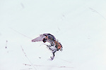 Kestrel landing on a small conifer in Yellowstone National Park.
