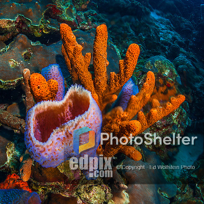 26 January 2016:  A cluster of orange Tree Sponges (Amphimedon compressa) and basket sponges (Demosponge) are observed at Monk's Haven Reef on Klein Bonaire. Klein Bonaire (Small Bonaire) is an uninhabited island off the west coast of Bonaire in the Dutch Caribbean. Bonaire is known for its pioneering role in the preservation of the marine environment. A part of the Netherland Caribbean Islands, Bonaire is located off the coast of Venezuela and offers excellent scuba diving, snorkeling and windsurfing.  Mandatory Credit: Ed Wolfstein Photo *** RAW (NEF) Image File Available ***