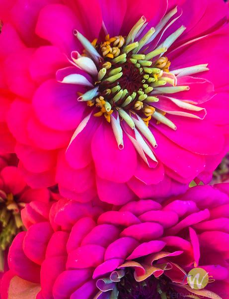 Majenta zinnia flower