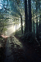 Scenic rays of light through the redwood trees in Occidental Califonria