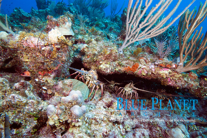 Caribbean spiny lobsters, panulirus argus. Spiny lobsters can grow to 60cm/2ft.