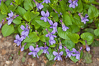 Wald-Veilchen, Waldveilchen, Veilchen, Viola reichenbachiana, Early Dog Violet, Woodland Violet