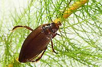 Gemeiner Teichschwimmer, Dunkler Teichschwimmer, Dunkeler Teichschwimmer, Colymbetes fuscus, Diving beetle, Schwimmkäfer, Dytiscidae