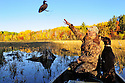 00280-069.15  Duck Hunting: Hunter is tossing decoy from boat while pudelpointer looks on.  Fall color, wild rice.