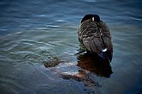 Animaux dans la nature a Montreal et les environs, 2021 - Bernache du Canada<br /> <br /> Photo : Pierre Tran - AQP