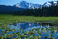 Yellow pondlily<br /> Kenai Mountains<br /> Chugach National Forest<br /> Alaska