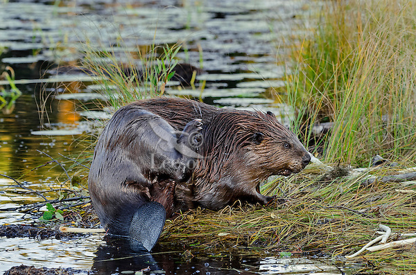 North American Beaver (Castor canadensis) grooming while sitting on edge of pond.  Northern Rockies,  Fall.    The two inside (medial) toes of each hind foot have movable, split nails, which beaver use as combs to groom their fur.