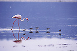 A greater flamingo follows a line of avocets as they feed in the small lake in the Ngorongoro Crater.