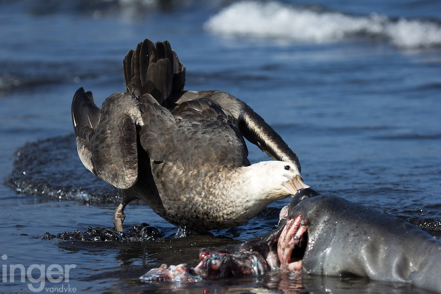 Southern Giant Petrel picking at Elephant Seal carcass on Heard Island, Antarctica