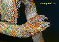 CH41-502z   Veiled Chameleon, close-up of grasping foot and sharp claws, Chamaeleo calyptratus