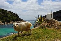 Ziege, bei Cala Moresca bei  Golfo Aranci, Gallura, Provinz Olbia-Tempio, Nord Sardinien, Italien