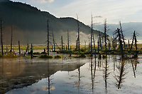 Dead trees from saltwater infusion near Portage, southcentral, Alaska.