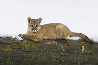 Puma kitten lying on top of a snow covered log - CA
