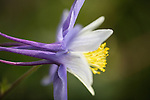 Blue Columbine wildflower, photographed along Black Bear Pass in southwest Colorado