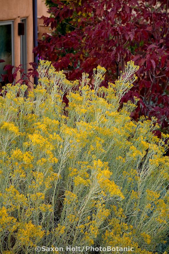 Yellow flowering silver gray leaf native shrub, Chamisa or Rabbitbrush (Chrysothamnus nauseosus) and ash tree, Fraxinus americana 'Autumn Purple' in Xeriscape garden, Santa Fe, New Mexico