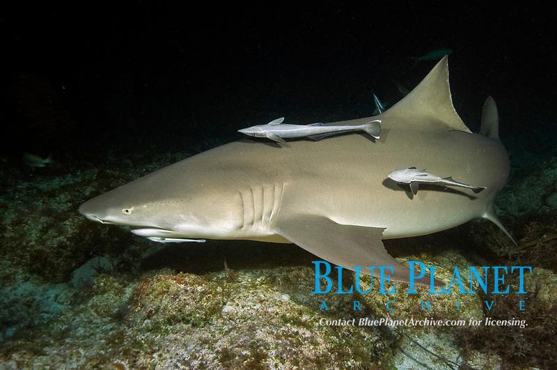 Lemon shark with remoras on reef at night. Negaprion brevirostris with Echeneis naucrates, Bahamas, Caribbean Sea, Atlantic Ocean
