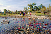 Annual Adams River Sockeye Salmon Run (Oncorhynchus nerka), Roderick Haig-Brown Provincial Park near Salmon Arm, BC, British Columbia, Canada - Tourists watching Fish returning to Spawn