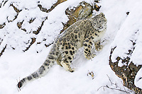Snow Leopard standing on the side of a snowy hill - CA