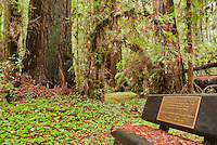 Memorial bench honoring Lillie Flebbe and Dorothy Flebbe-Rives in the Big Hendy grove of coast redwoods, Sequoia sempervirens, Hendy Woods State Park, California
