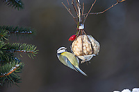 Blaumeise, selbstgemachtes Vogelfutter in einem Körbchen aus Birkenzweigen, Weidenkörbchen, Vogelfütterung, Fütterung, Nuss-Säckchen, Nusssäckchen, Nuß-Säckchen, Nussäckchen, Erdnüsse, Winterfütterung, Blau-Meise, Meise, Meisen, Cyanistes caeruleus, Parus caeruleus, blue tit, bird's feeding, La Mésange bleue