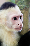 The White-Faced or Capuchin Monkey of Costa Rica