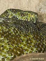 0430-1104  Mang Mountain Pit Viper (China Mangshan Pitviper), Only Non Cobra that Can Spit Venom, Zhaoermia mangshanensis (syn. Trimeresurus mangshanensis)  © David Kuhn/Dwight Kuhn Photography
