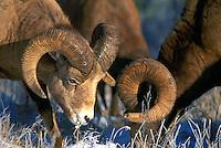 Jasper National Park, Canadian Rockies, AB, Alberta, Canada - Rocky Mountain Bighorn Sheep Rams (Ovis canadensis) foraging in Snow