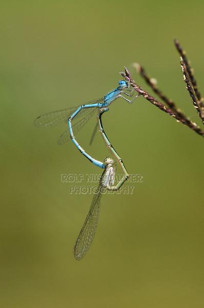 Familiar Bluet (Enallagma civile), pair mating on grass, Laredo, Webb County, South Texas, USA