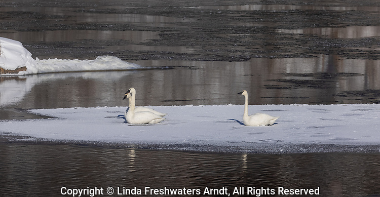 Trumpeter swans resting on a patch of ice in northern Wisconsin.