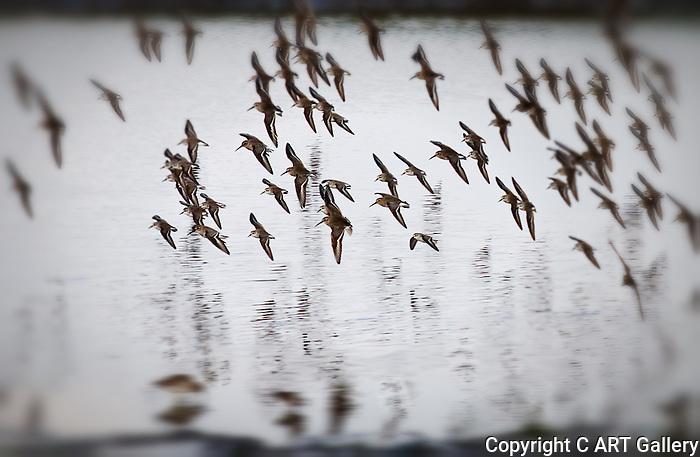 Seabirds flocking, Bolsa Chica, CA.