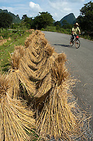 Peasant cycling past rice paddies along the side of a country road, Yangshuo, Guangxi, China.